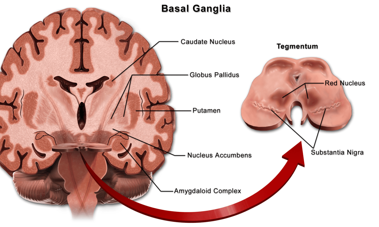 Basal ganglia and infant brain damage - birth injury